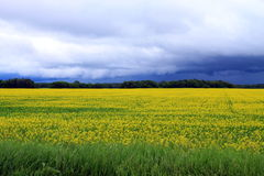 Illavarslande moln över fält av Manitoba Canola i blomning Royaltyfria Foton