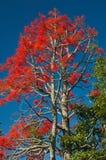 Illawarra płomienia drzewa Brachychiton acerifolium zdjęcia stock