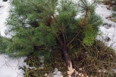 Illegal felling of firs. Deforestation ban.cut down Christmas trees stock photography