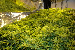 Illegal Skunk Cannabis Factory stock images