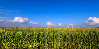Illinois Agricultural Land. View of an Illinois cornfield on a beautiful sunny day Royalty Free Stock Photos