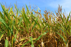 Illinois Corn Field. This corn is in a Godfrey, Illinois corn maze stock images