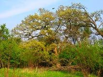 Illinois Eiken Forest Landscape stock afbeelding