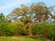 Illinois Oak Forest Landscape Stock Image