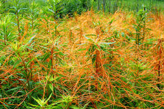 Illinois Prairie Covered with Dodder Stock Image