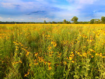 Illinois Prairie Flowers in Bloom. Prairie flowers bloom in vibrant sunlight in northern Illinois Stock Photo