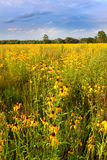 Illinois Prairie Flowers in Bloom Stock Photography