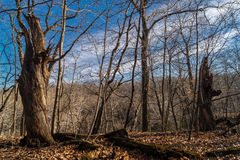 The Illinois Woods. Stock Image