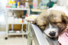 Illness puppy with intravenous drip on operating t Royalty Free Stock Photo
