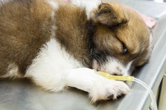 Illness puppy with intravenous drip Stock Photos