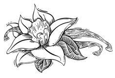 Illstration de fleur et d'épice de vanille Image libre de droits