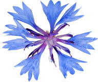 Illuatration with single blue chicory flower Royalty Free Stock Image
