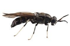 Illucens negros de Hermetia de la especie de la mosca del soldado imagen de archivo