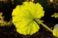 Illuminated big leaf veins closeup Stock Images