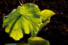 Illuminated big leaf veins closeup Royalty Free Stock Images