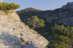 Small relic pine on the background of a dark wooded slope. Illuminated by the bright sun, a small relic pine on the background of a dark wooded slope. Crimea royalty free stock images