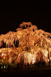 Illuminated cherry tree in Fukushima, Japan Stock Image