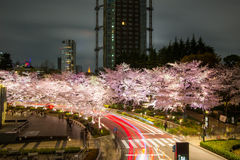 Illuminated Cherry trees along the street at Tokyo Midtown,Minato-Ku,Tokyo,Japan in spring,2017. Royalty Free Stock Images