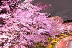 Illuminated Cherry trees along the street at Tokyo Midtown,Minato-Ku,Tokyo,Japan in spring,2017. Cherry blossom is the flower of any of several trees of genus Royalty Free Stock Photos