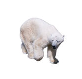 Polar bear walking isolated on a white background. Vector illustration.  Stock Photo