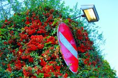 An illuminated dirty no entry road sign nestles within a shrub bearing red berries royalty free stock images