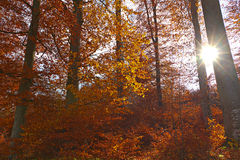 Illuminated golden autumn forest Stock Photography