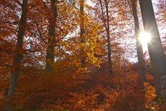 Illuminated golden autumn forest Stock Photography