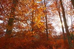 Illuminated golden autumn forest Stock Photo