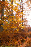 Illuminated golden autumn forest Royalty Free Stock Photos