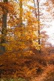 Illuminated golden autumn forest Royalty Free Stock Photos