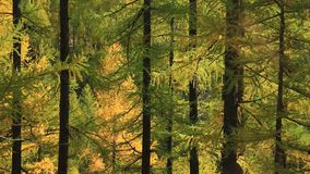 Illuminated golden larch forest royalty free stock photos