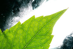Illuminated green leaf Royalty Free Stock Photo