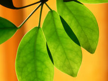 Illuminated green leaves Royalty Free Stock Photography