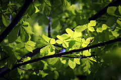 Illuminated green leaves on branch Stock Photo
