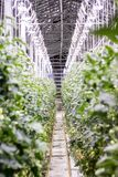 Illuminated greenhouse in Iceland, used to grow tomatoes. Greenhouses with tomatoes in Iceland. View of a shining greenhouse.  stock image