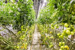 Illuminated greenhouse in Iceland, used to grow tomatoes. Greenhouses with tomatoes in Iceland. View of a shining greenhouse.  stock photo