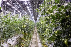 Illuminated greenhouse in Iceland, used to grow tomatoes. Greenhouses with tomatoes in Iceland. View of a shining greenhouse.  royalty free stock photos