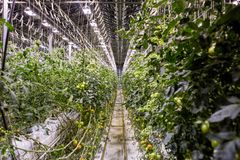 Illuminated greenhouse in Iceland, used to grow tomatoes. Greenhouses with tomatoes in Iceland. View of a shining greenhouse.  stock photography