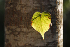 Illuminated leaf in a trunk Royalty Free Stock Photography