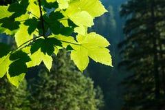 Illuminated Leaves Royalty Free Stock Images