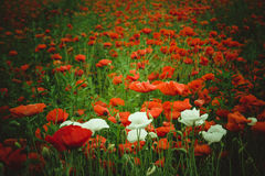 Illuminated part of field with red poppies and white flowers Stock Images