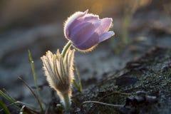 Illuminated pasqueflower Stock Images