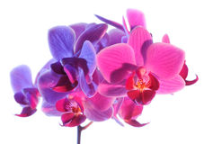 Illuminated Phalaenopsis orchid, isolated on white Royalty Free Stock Photography