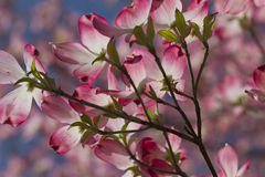 Illuminated Pink Dogwood Blossoms. This is a gorgeous pink dogwood branch that was backlit by the early morning sun. These are covered with flowers every spring stock images