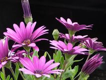 Illuminated pink flowers. Early in the morning. Garden in Buenos Aires, Argentina Stock Photo