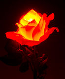 Illuminated Rose flower Royalty Free Stock Photos