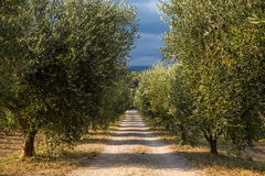 Illuminated by the setting sun olive trees and a dirt road going deep into the olive groves.  Stock Photos