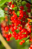 Illuminated by sunlight redcurrant berries Royalty Free Stock Image
