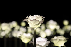 Illuminated white rose garden Royalty Free Stock Photo