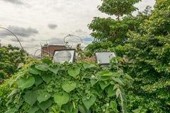 Illuminazione alta all'aperto nell'edera Fotografie Stock Libere da Diritti
